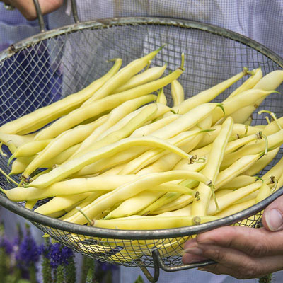 Improved Golden Wax Bush Beans