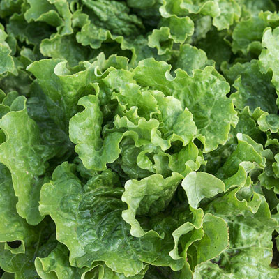 Green Ice Lettuce