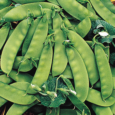 Oregon Sugar Pod II Snow Pea