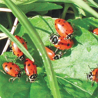 Sta-Home<sup>™</sup>  Lady Beetles