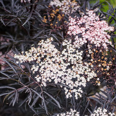 Black Lace Elderberry