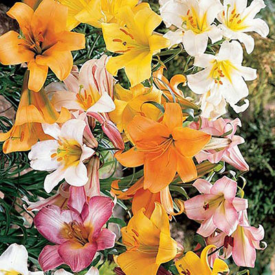 Trumpet Lily Mix