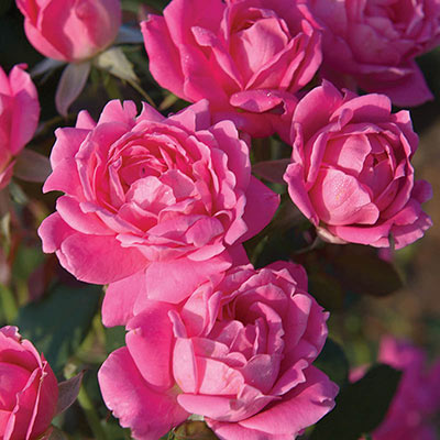 Knock Out® Pink Double Rose