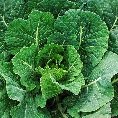 Tiger Hybrid Collards