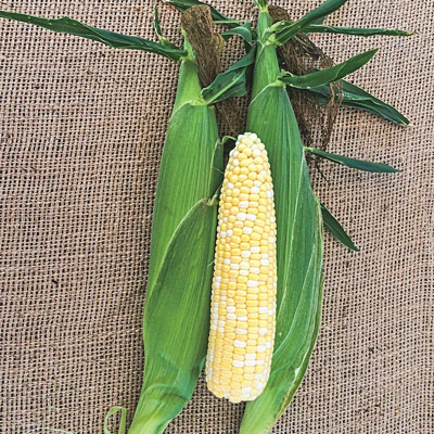 Northern Xtra-Sweet Bicolor Improved Sweet Corn