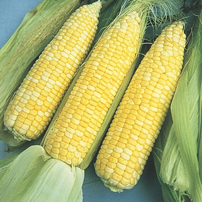 Sugar Baby Hybrid Sweet Corn