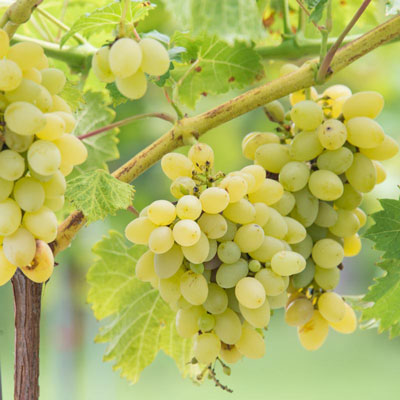 Neptune Seedless Grape