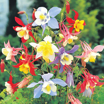 Mixed McKana Giant Columbine