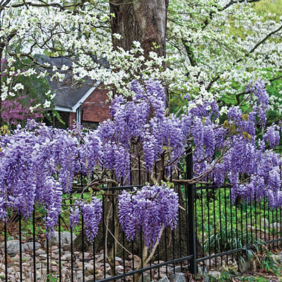 Blue Moon Reblooming Wisteria