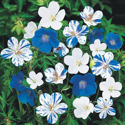 Blue & White Geranium Mix