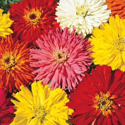 Zinnia Cactus Flowered Mix PKT