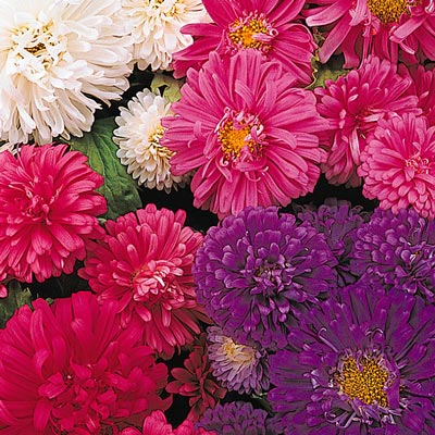 Aster Pot N Patio Mix PKT