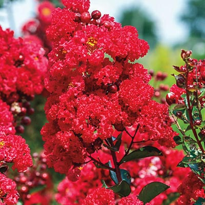 Crape Myrtle Ruffled Red Magic