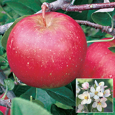 Pixie Crunch™ Reachables® Apple Tree