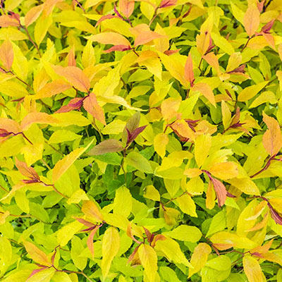 Goldflame Spirea