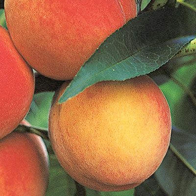 Belle of Georgia Reachables® Peach Tree