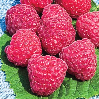 Raspberry Sweet Repeat™ cv Nantahala (PP20689)