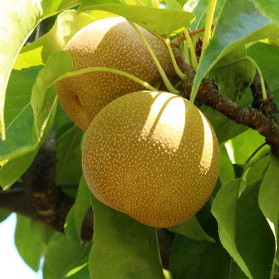 Shinseiki Asian Pear