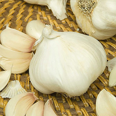 Nootka Rose Softneck Garlic