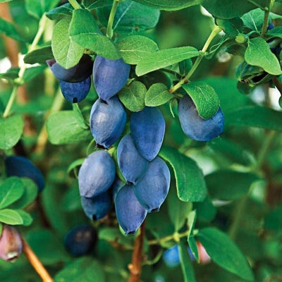 Tundra Honeyberry