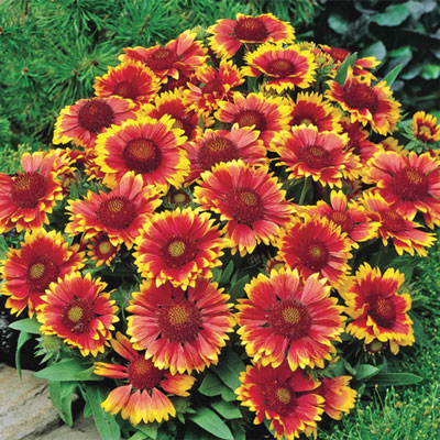 Arizona Sun Gaillardia Mix
