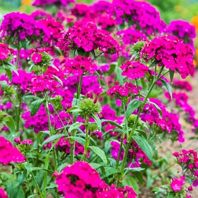 Amazon Neon Duo Dianthus PKT