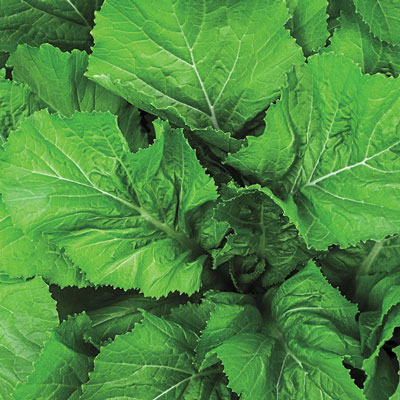 Florida Broadleaf Mustard Green