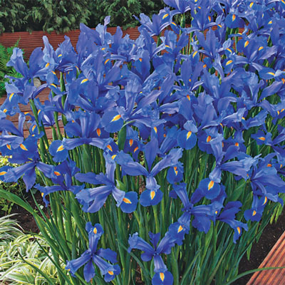 Blue & White Dutch Iris Blend