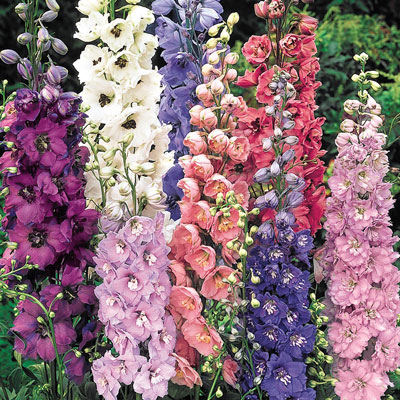 Mixed Delphiniums