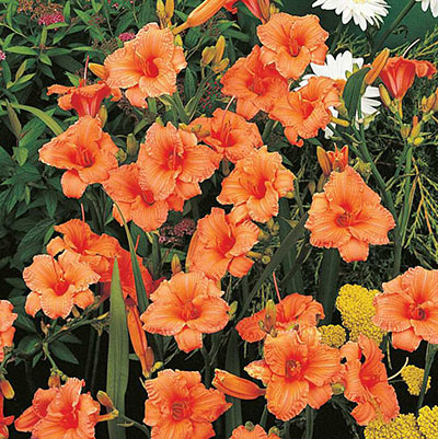 Double Persimmon Dwarf Daylily