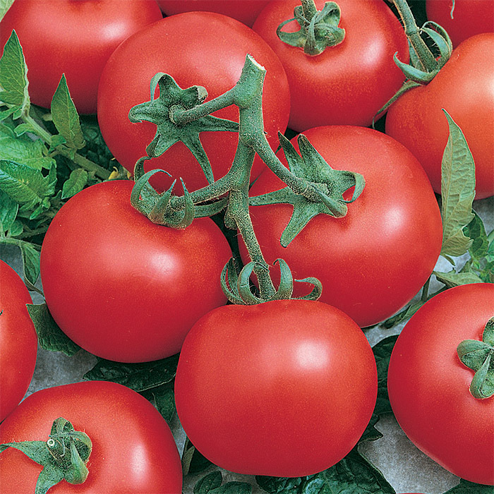 Early Doll Hybrid Tomato