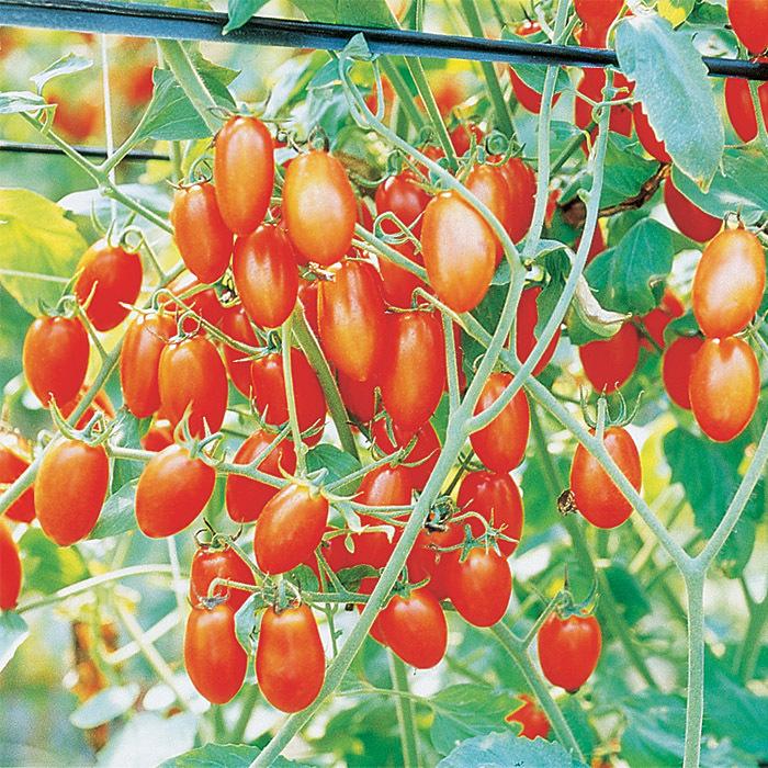 Grapette Hybrid Tomato