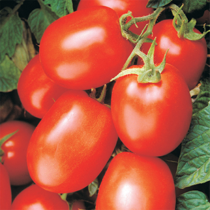 Health Kick Hybrid Tomato