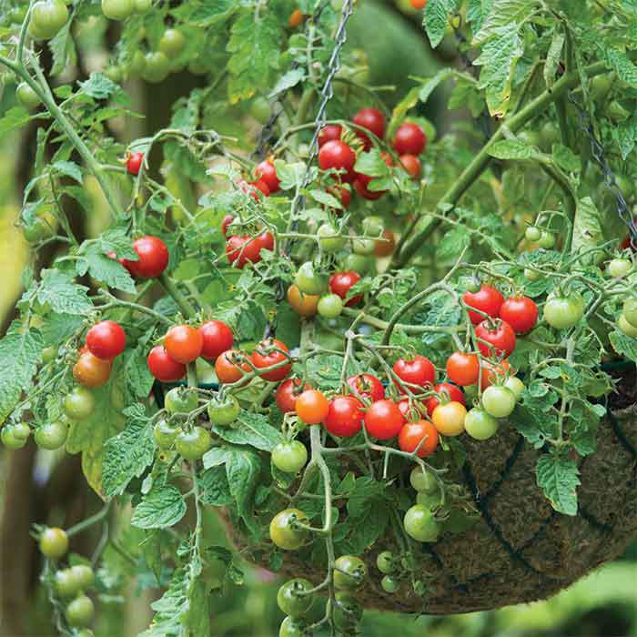 Lizzano Hybrid Tomato