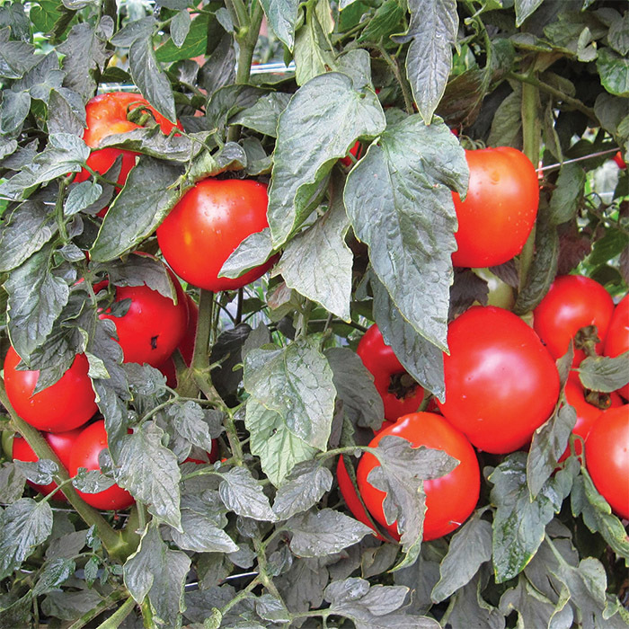 Mountain Merit Hybrid Tomato