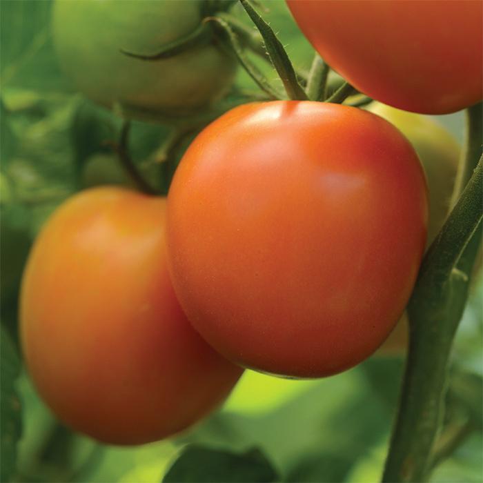 Perfect Flame Hybrid Tomato