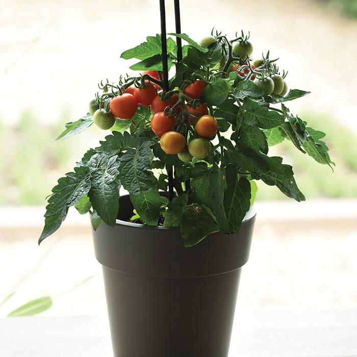 Red Velvet Edible Potted Tomato