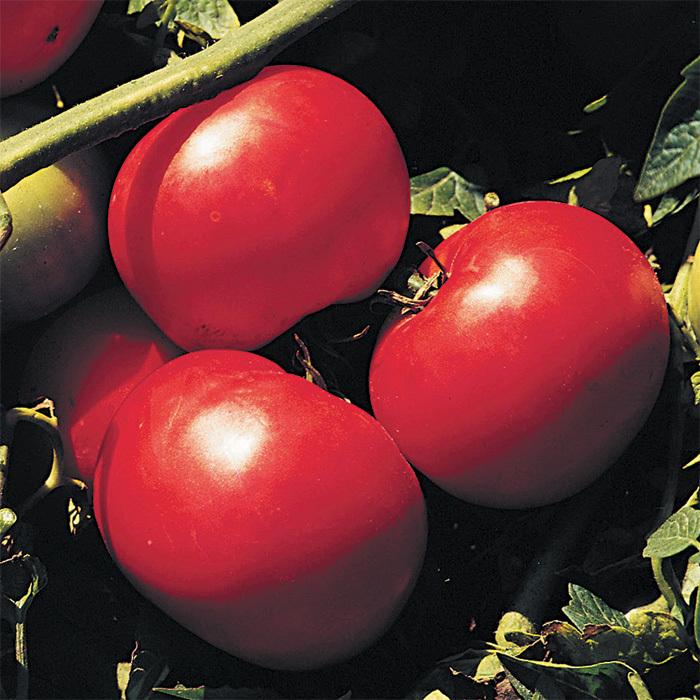 Supersonic Hybrid Tomato