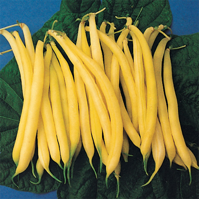 Golden Rod Wax Bean