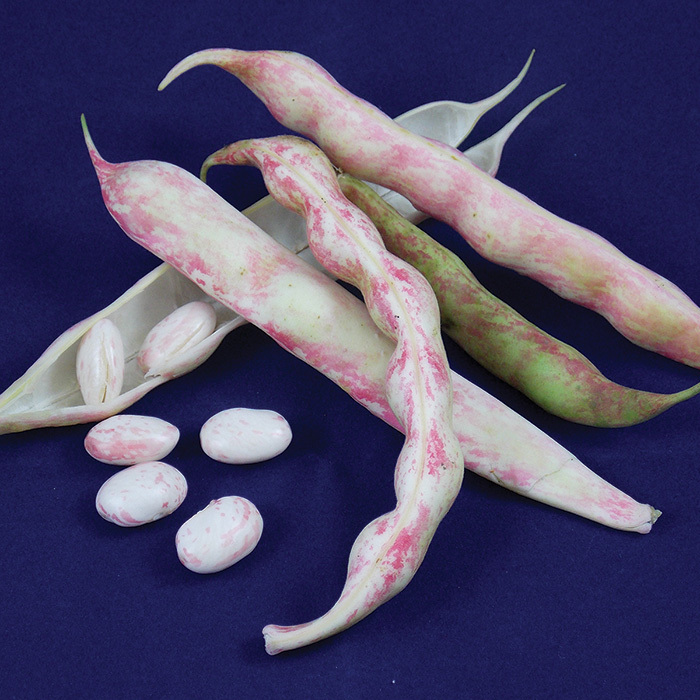French Horticultural Bean