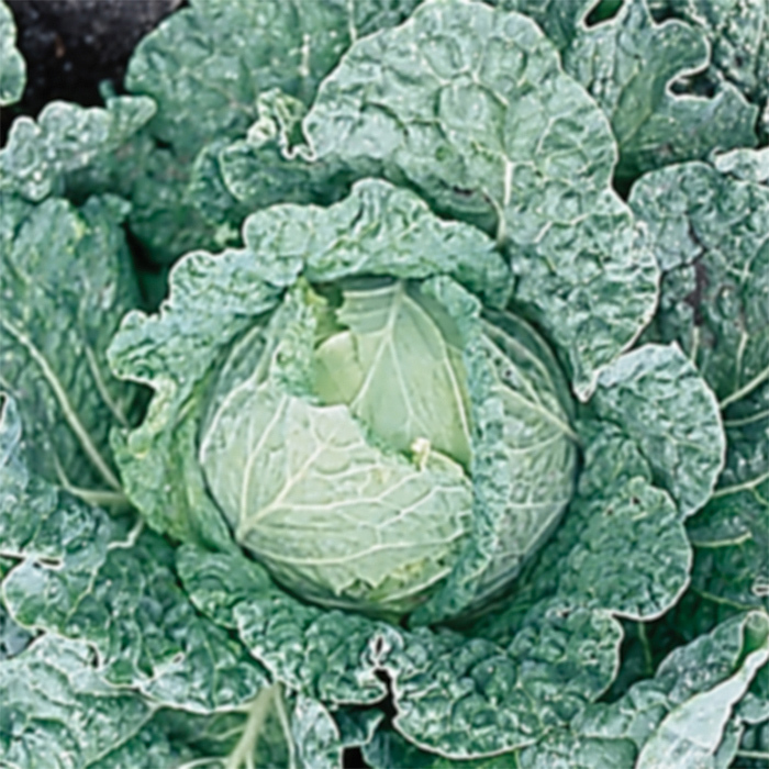 Savoy King Hybrid Cabbage