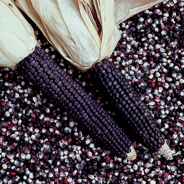 Blue Dent Corn