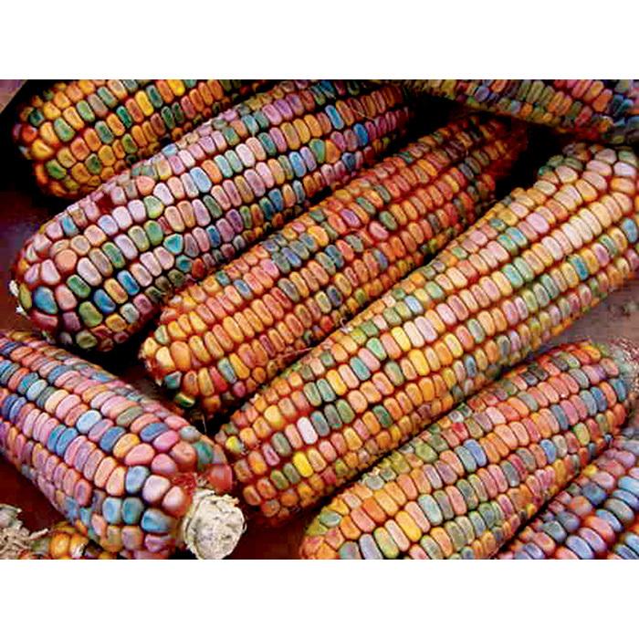 Earth Tones Corn