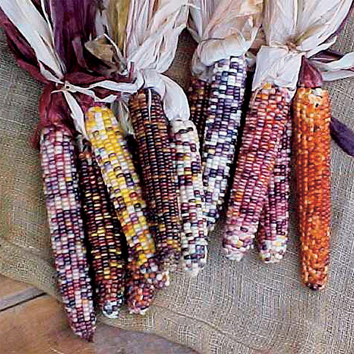 Autumn Explosion Hybrid Corn