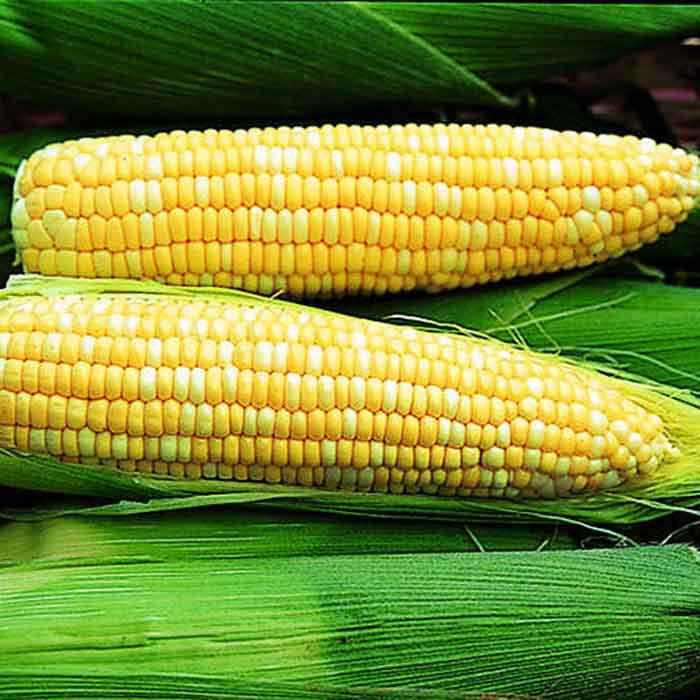 Ambrosia Hybrid Sweet Corn