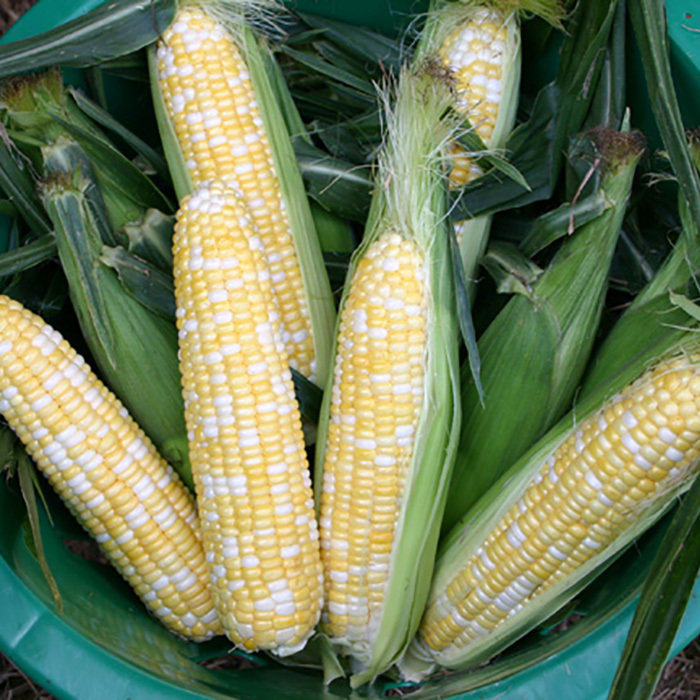 Butter And Sugar Hybrid Sweet Corn
