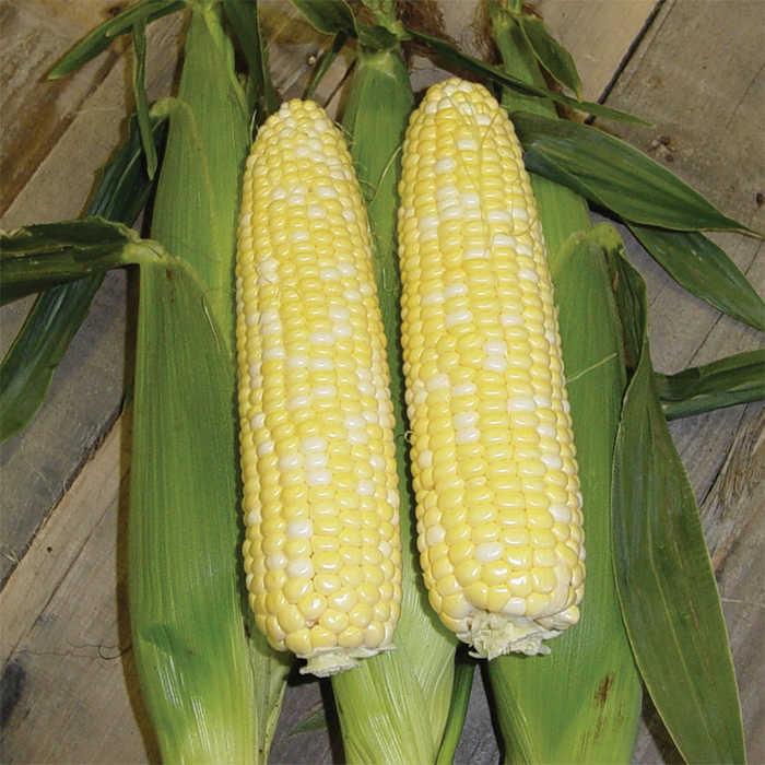 Mirai Hybrid Sweet Corn
