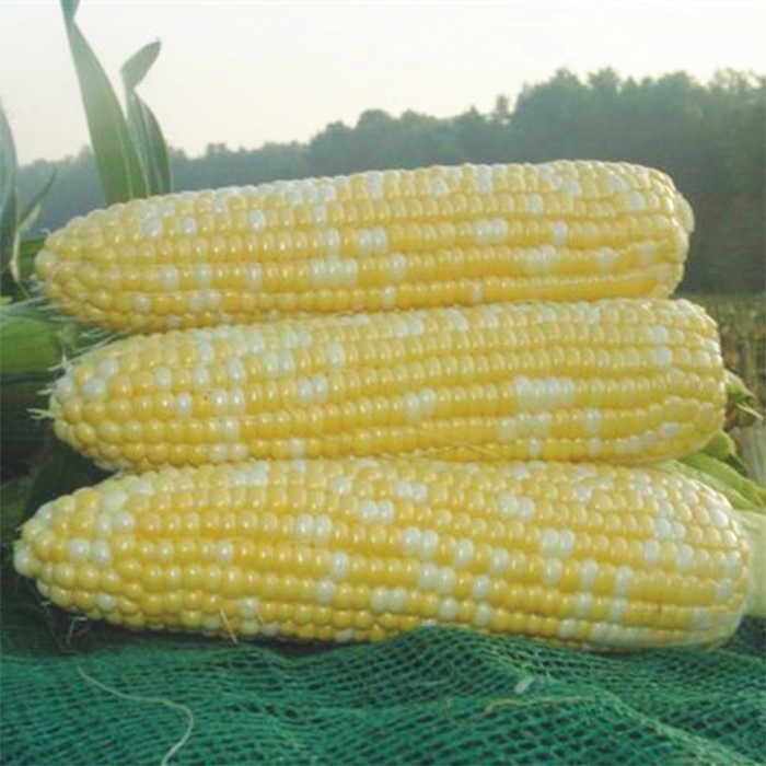 Xtra Tender 2573 Hybrid Sweet Corn