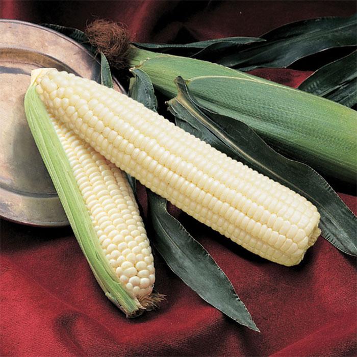 Silver Queen Hybrid Sweet Corn