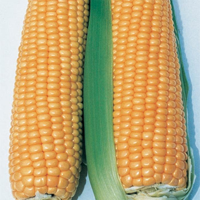 Illini Xtra Sweet Yellow Sweet Corn